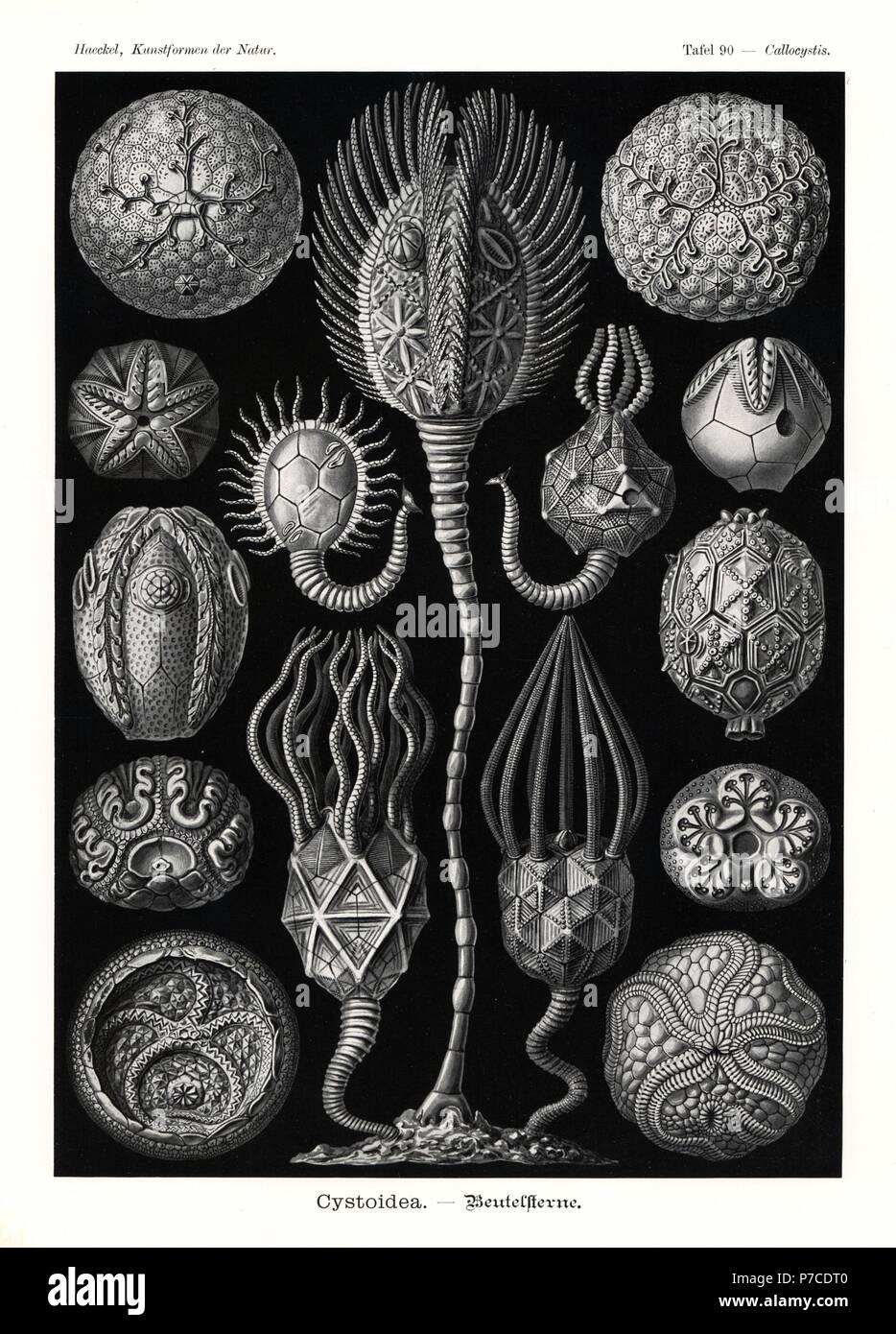 Cystoidea or cystoids, extinct fossil echinoderms: Staurocystis quadrifasciata 1, Glyptosphaerites leuchtenbergi 2, Protocrinites fragum 3, Cystoblastus leuchtenbergi 4,5, Pseudocrinites bifasciatus 6,  Echinoencrinites angulosus 7, Callocystites jewetti 8, Hemicosmites extraneus 9, Glyptocystites multiporus 10, Glyptocystites species 11, Cheirocrinus species 12, Caryocrinites ornatus 13, Agelacrinites hamiltonensis 14, and Streptaster vorticellatus 15. Chromolithograph by Adolf Glitsch from an illustration by Ernst Haeckel from Art Forms in Nature, Kunstformen der Natur, Liepzig, Germany, 190 Stock Photo