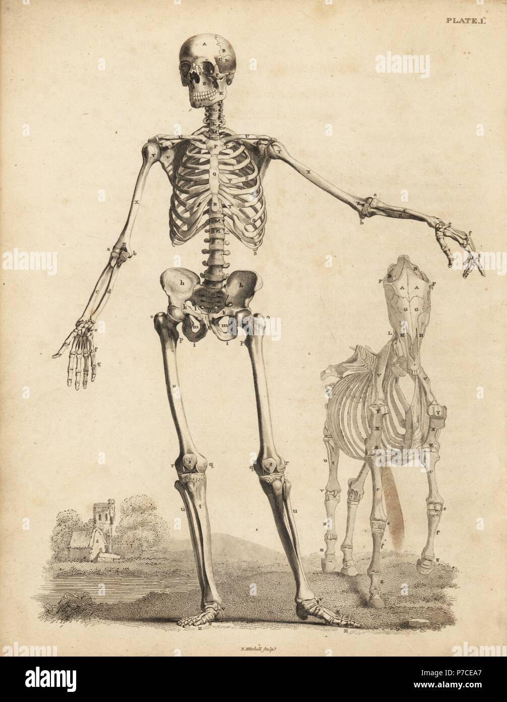 Human male skeleton from the front, with horse skeleton by George ...