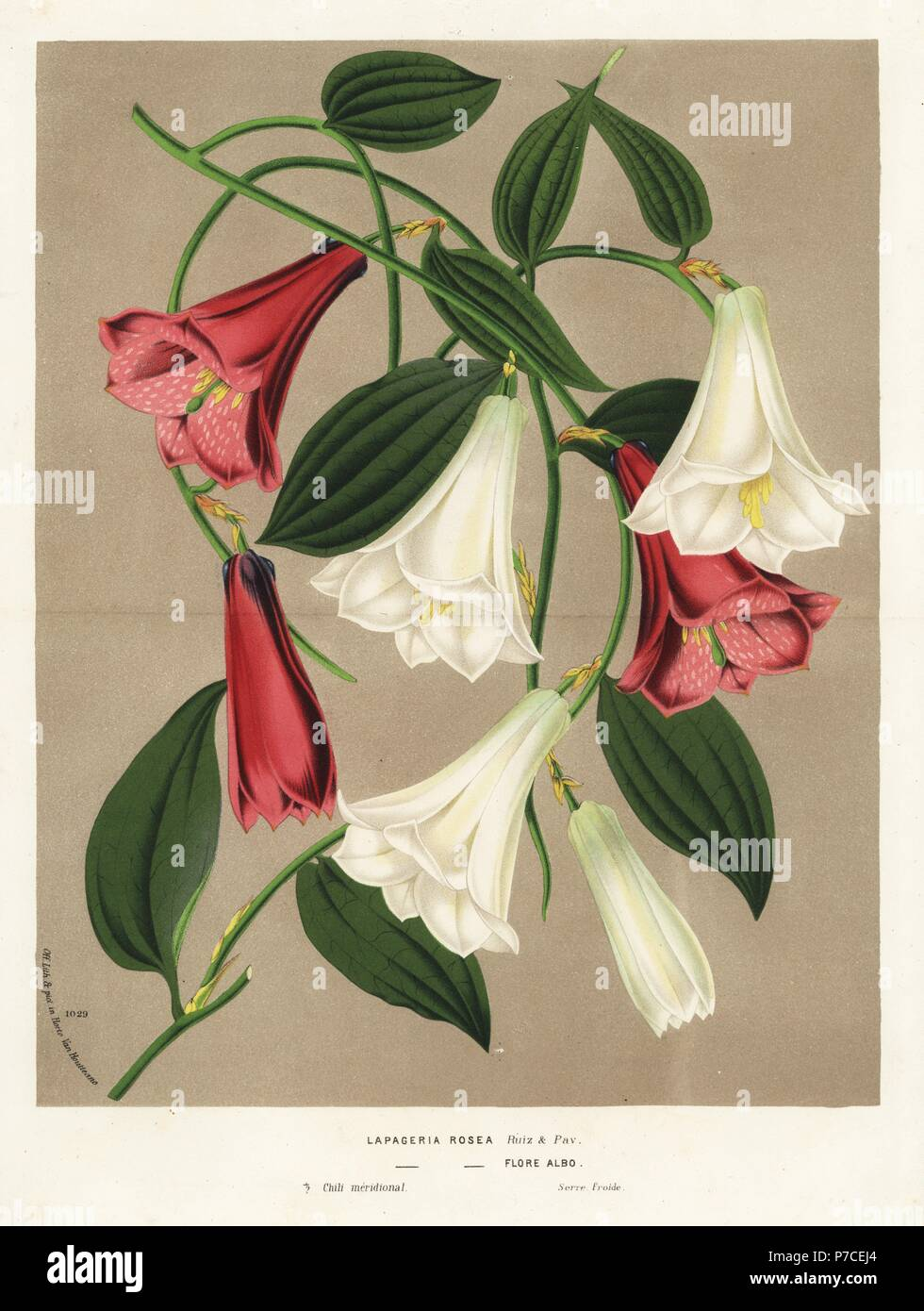 Chilean Bellflower Or Copihue Lapageria Rosea Pink And White