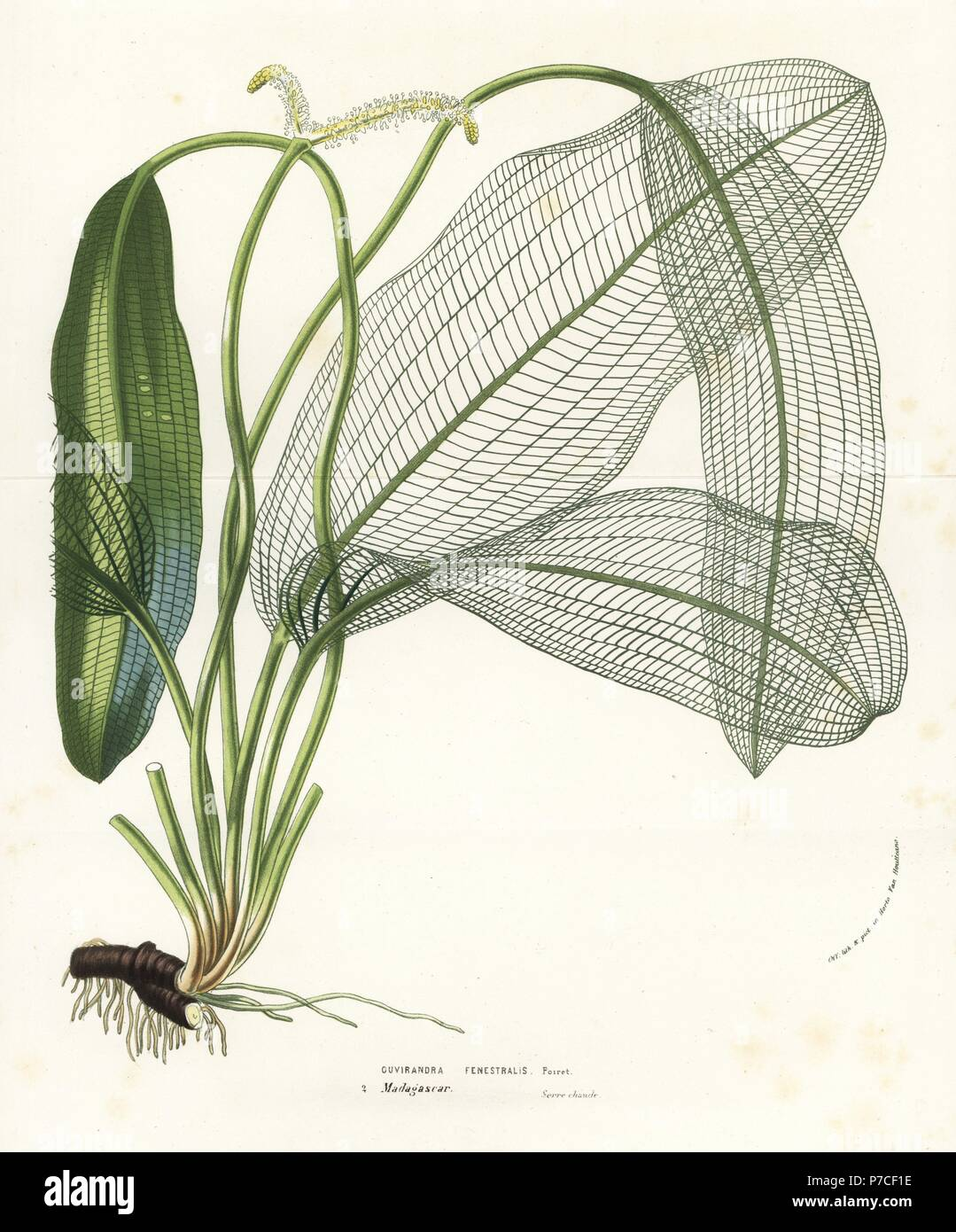 Madagascar laceleaf, lattice leaf or lace plant, Aponogeton madagascariensis (Ouvirandra fenestralis). Handcoloured lithograph from Louis van Houtte and Charles Lemaire's Flowers of the Gardens and Hothouses of Europe, Flore des Serres et des Jardins de l'Europe, Ghent, Belgium, 1856. - Stock Image