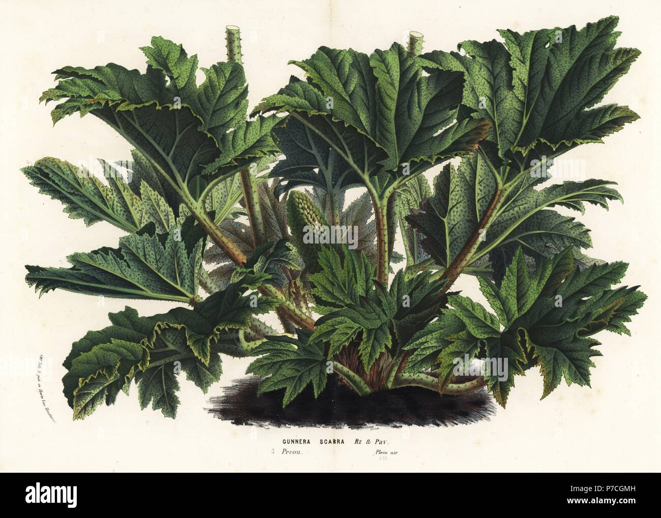 Chilean or giant rhubarb, Gunnera tinctoria (Gunnera scabra). Handcoloured lithograph from Louis van Houtte and Charles Lemaire's Flowers of the Gardens and Hothouses of Europe, Flore des Serres et des Jardins de l'Europe, Ghent, Belgium, 1870. Stock Photo