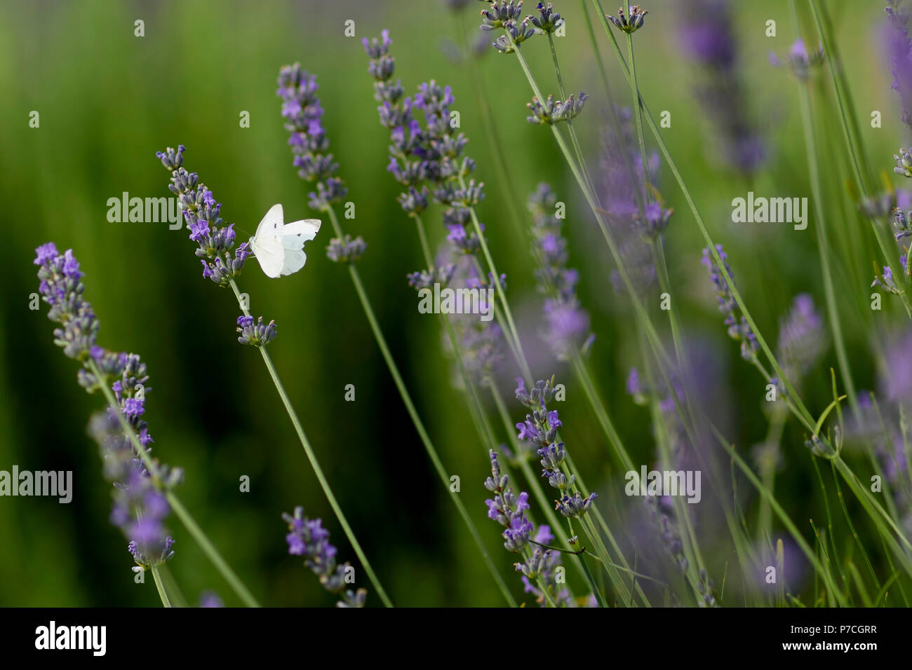 Butterfly on Lavender - Stock Image