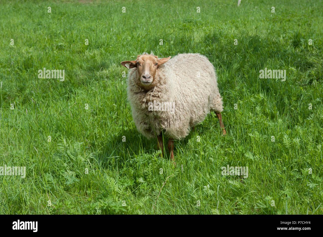 Coburg Fox Sheep, Schwaebisch Hall, Hohenlohe region, Baden-Wuerttemberg, Heilbronn-Franconia, Germany - Stock Image