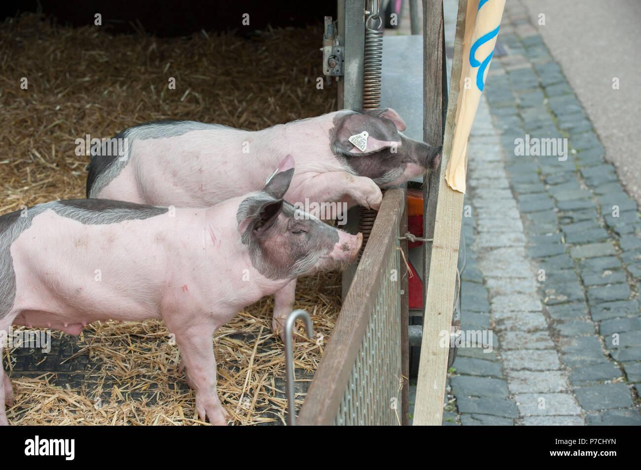 Swabian Hall pig, Schwaebisch Hall, Hohenlohe region, Baden-Wuerttemberg, Heilbronn-Franconia, Germany - Stock Image