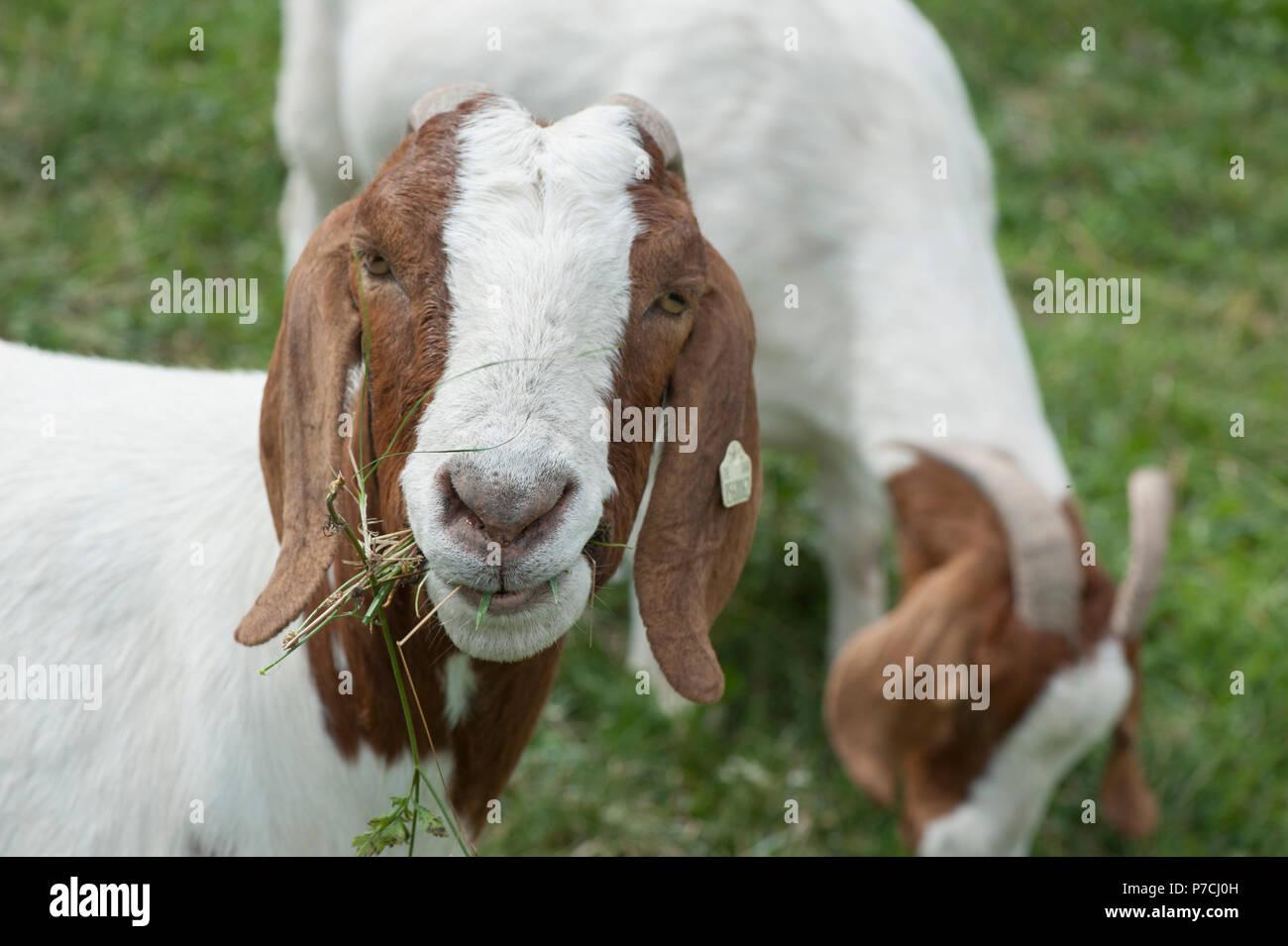 Boer goat, Hohenlohe region, Baden-Wuerttemberg, Germany - Stock Image