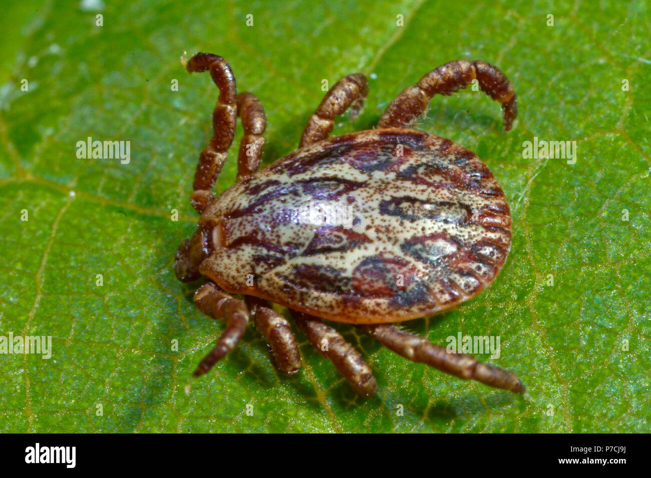 ornate cow tick, male, (Dermacentor reticulatus) - Stock Image