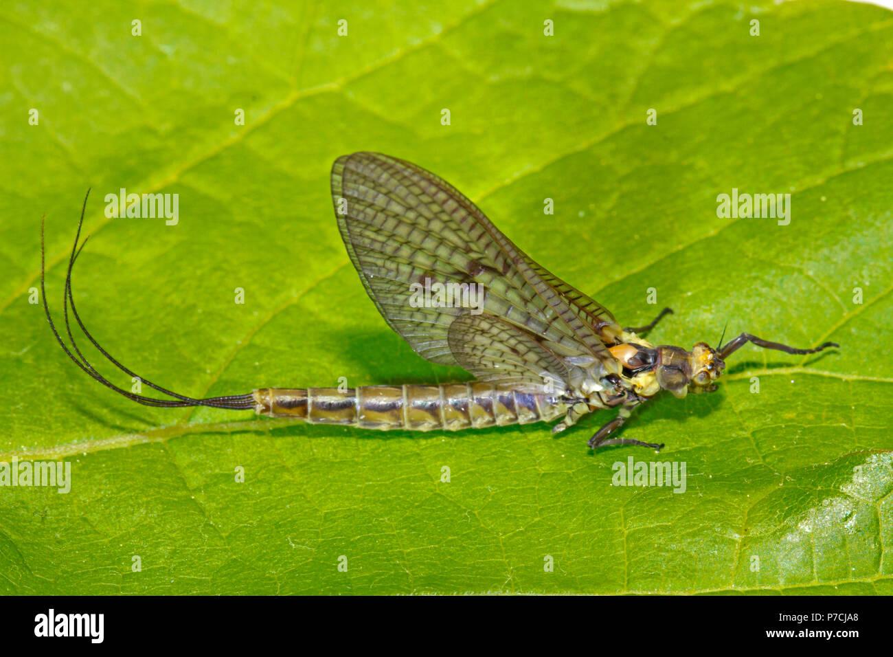 common mayfly, (Ephemera danica) - Stock Image