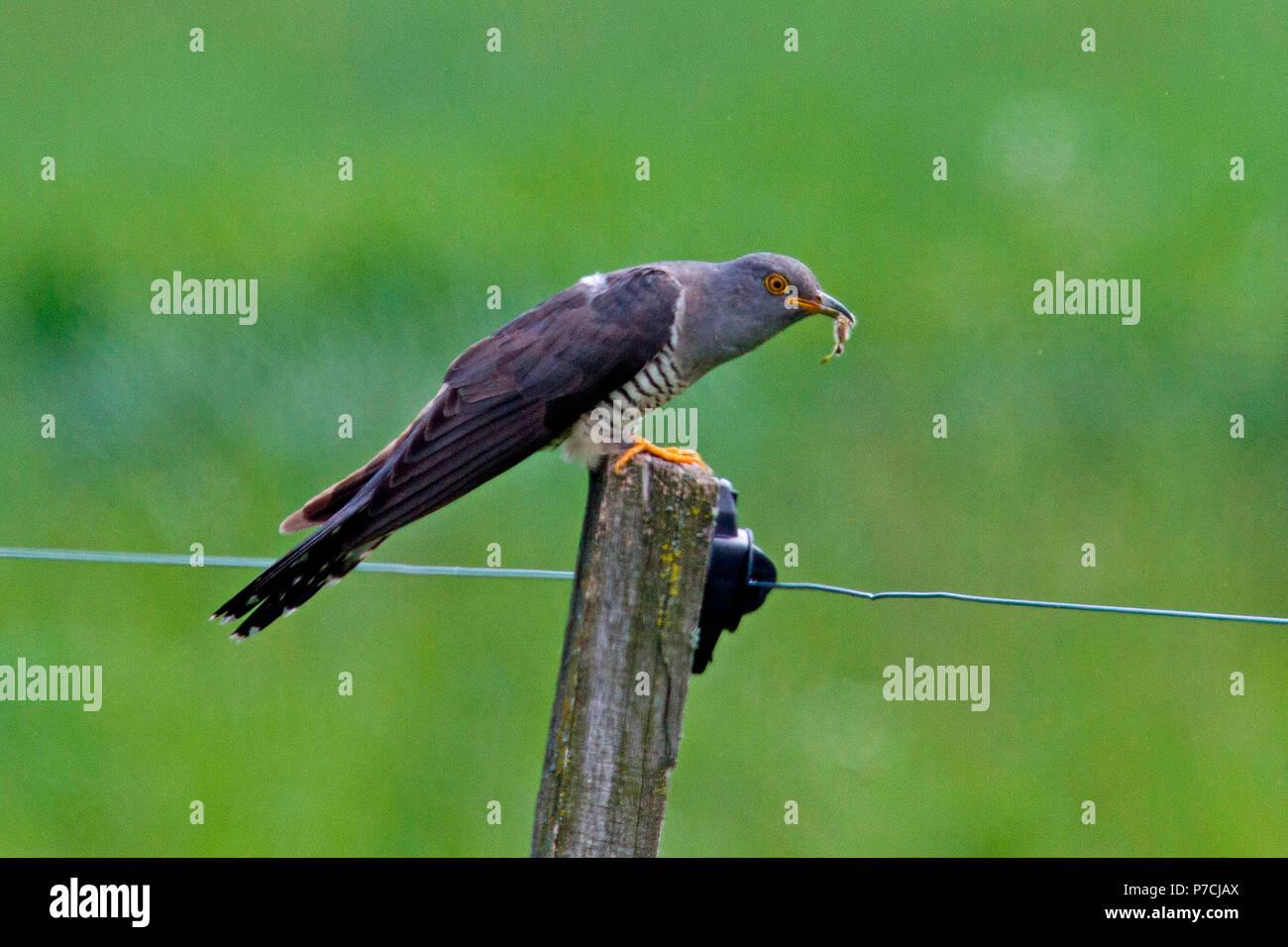 common cuckoo, (Cuculus canorus) - Stock Image