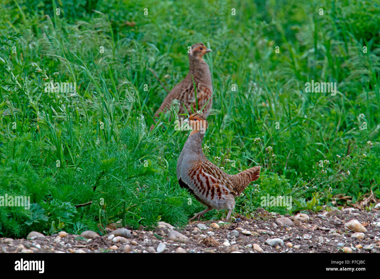 grey partridges, (Perdix perdix) - Stock Image