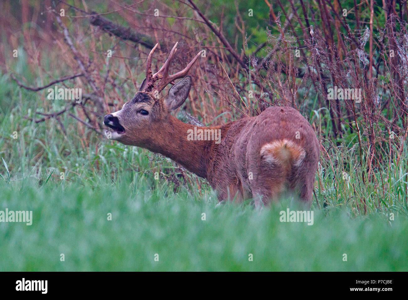 european roe deer, roebuck, (Capreolus capreolus) - Stock Image