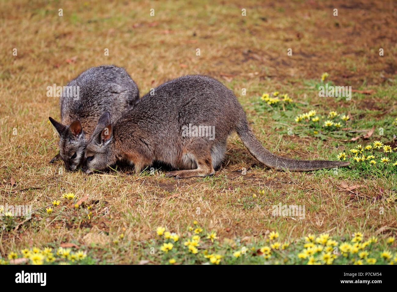 Tammar Wallaby, Dama-Wallaby, two adults feeding, Kangaroo Island, South Australia, Australia, (Macropus eugenii) Stock Photo