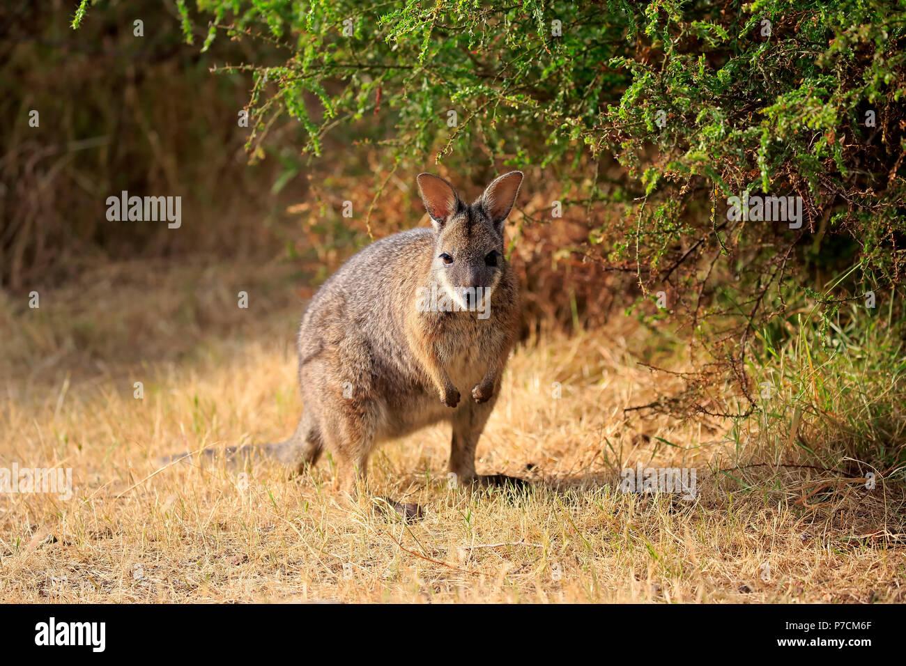 Tammar Wallaby, Dama-Wallaby, adult, Kangaroo Island, South Australia, Australia, (Macropus eugenii) - Stock Image