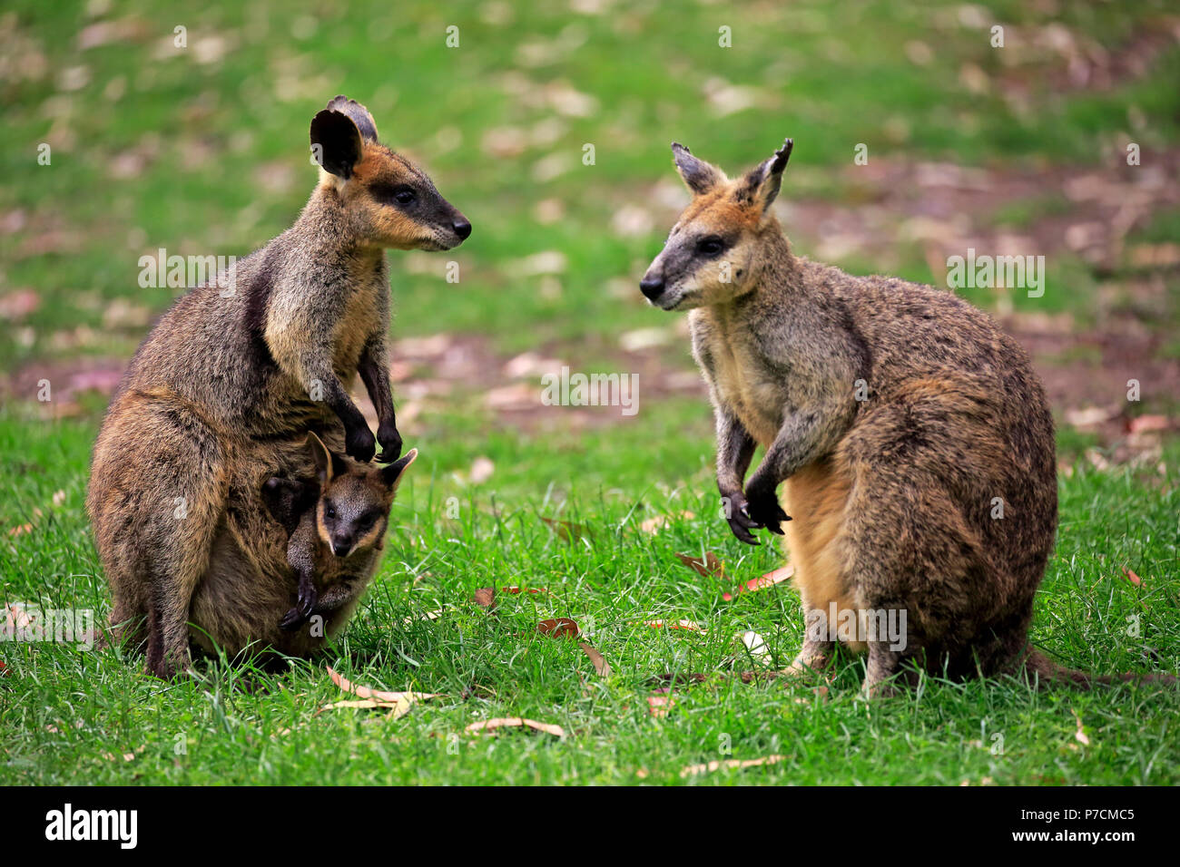 Agile Wallaby, family with Joey in pouch, male, female, Cuddly Creek, South Australia, Australia, (Macropus agilis) - Stock Image