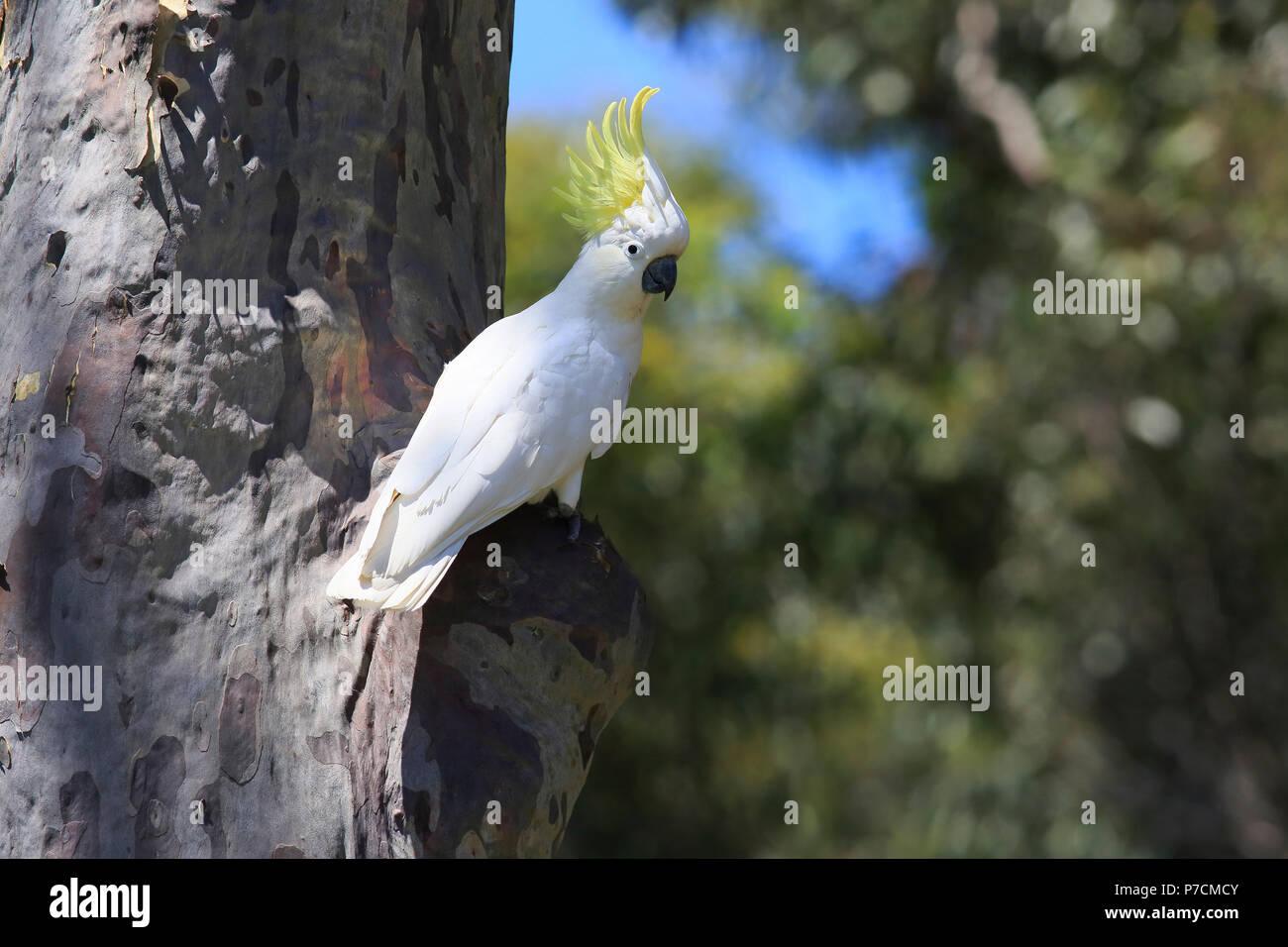 Sulfur-crested Cockatoo, adult on tree, Murramarang National Park, South Australia, Australia, (Cacatua galerita) - Stock Image