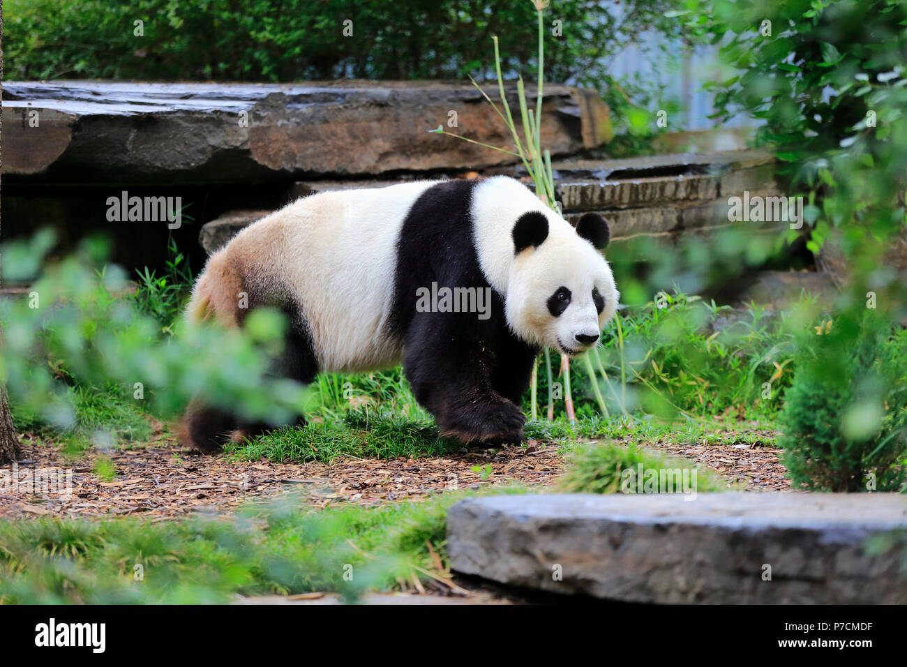 Giant Panda, adult walking, Adelaide, South Australia, Australia, (Ailuropoda melanoleuca) - Stock Image