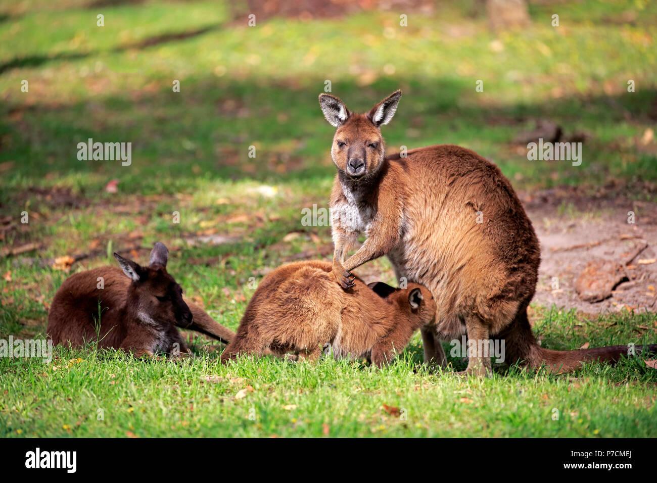 Kangaroo Island Kangaroo, family with young, suckling, Kangaroo Island, South Australia, Australia, (Macropus fuliginosus fuliginosus) - Stock Image