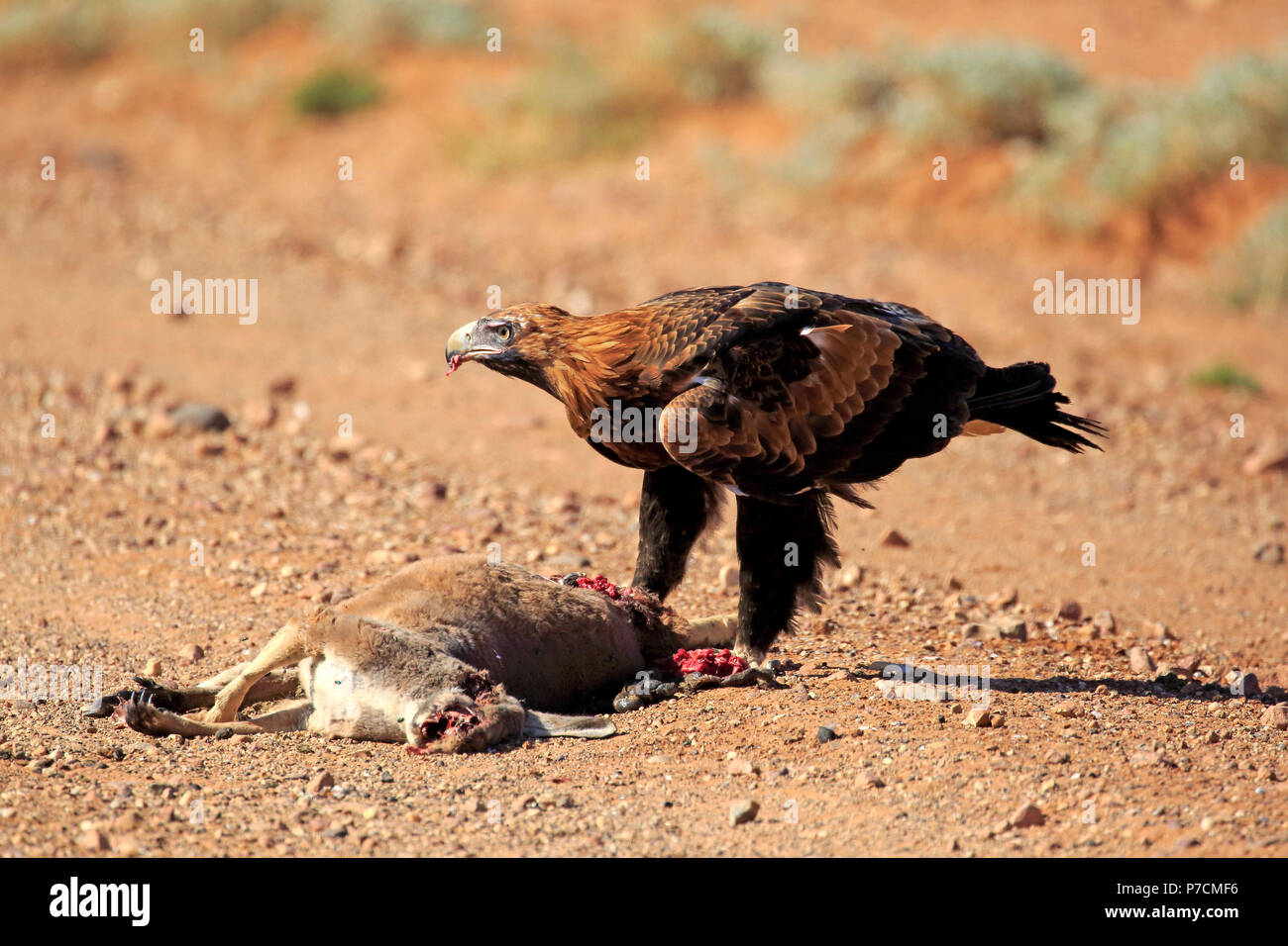 Wedge-Tailed Eagle, adult at prey, Sturt Nationalpark, New South Wales, Australia, (Aquila audax) - Stock Image