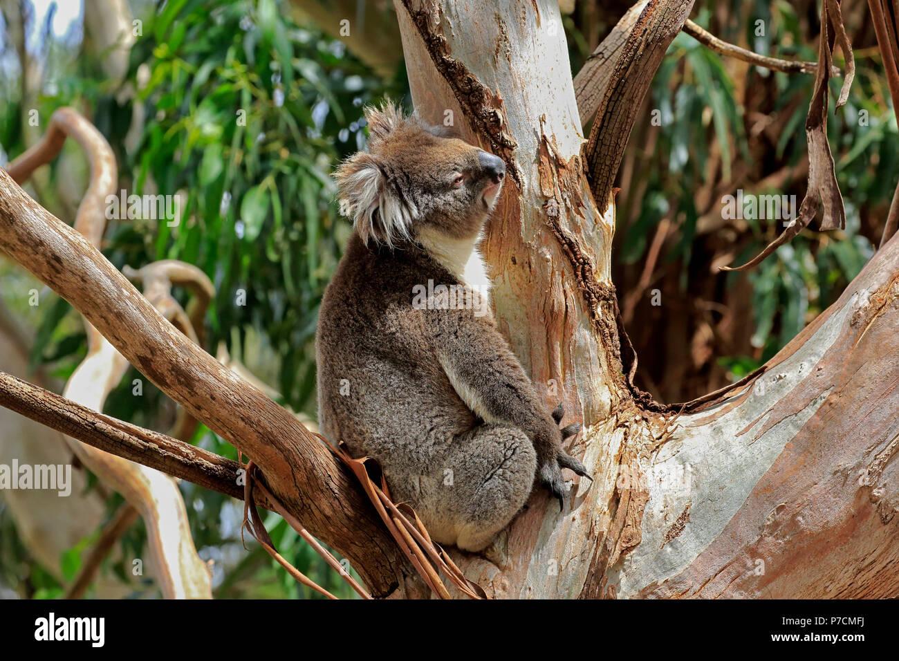 Koala, adult on tree, Mount Lofty, South Australia, Australia, (Phascolarctos cinereus) - Stock Image