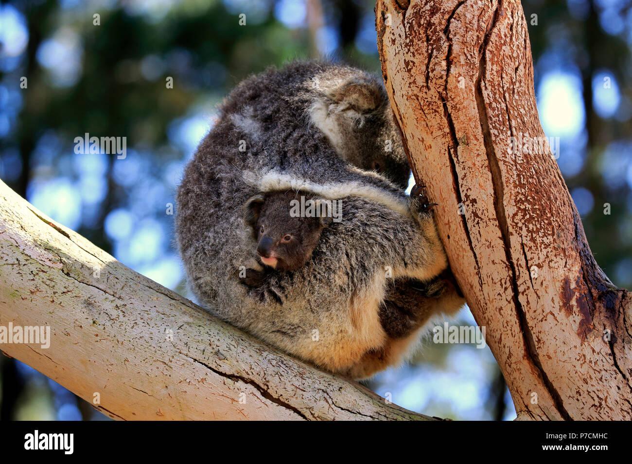 Koala, adult with young on tree, Kangaroo Island, South Australia, Australia, (Phascolarctos cinereus) - Stock Image