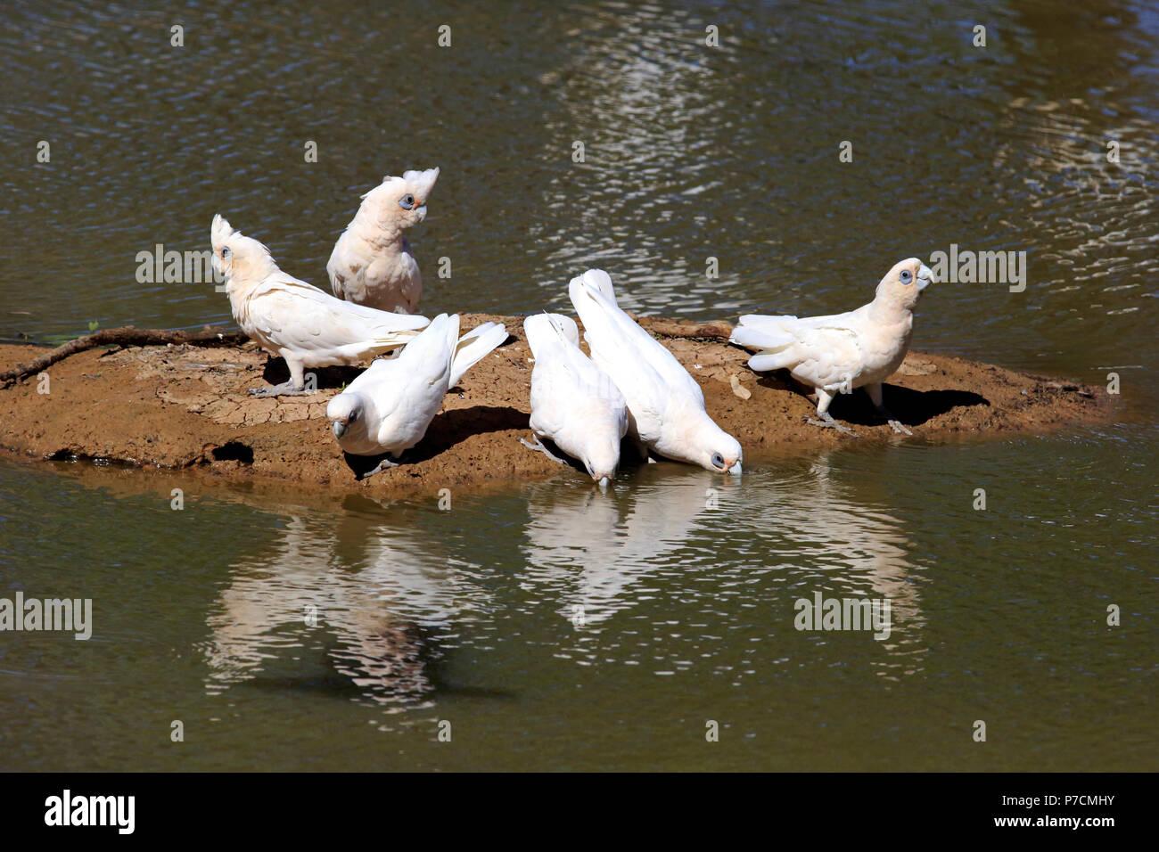 Little Corella, bare-eyed cockatoo, blood-stained cockatoo, short-billed corella, little cockatoo, blue-eyed cockatoo, group at water, Sturt Nationalpark, New South Wales, Australia, (Cacatua sanguinea) - Stock Image
