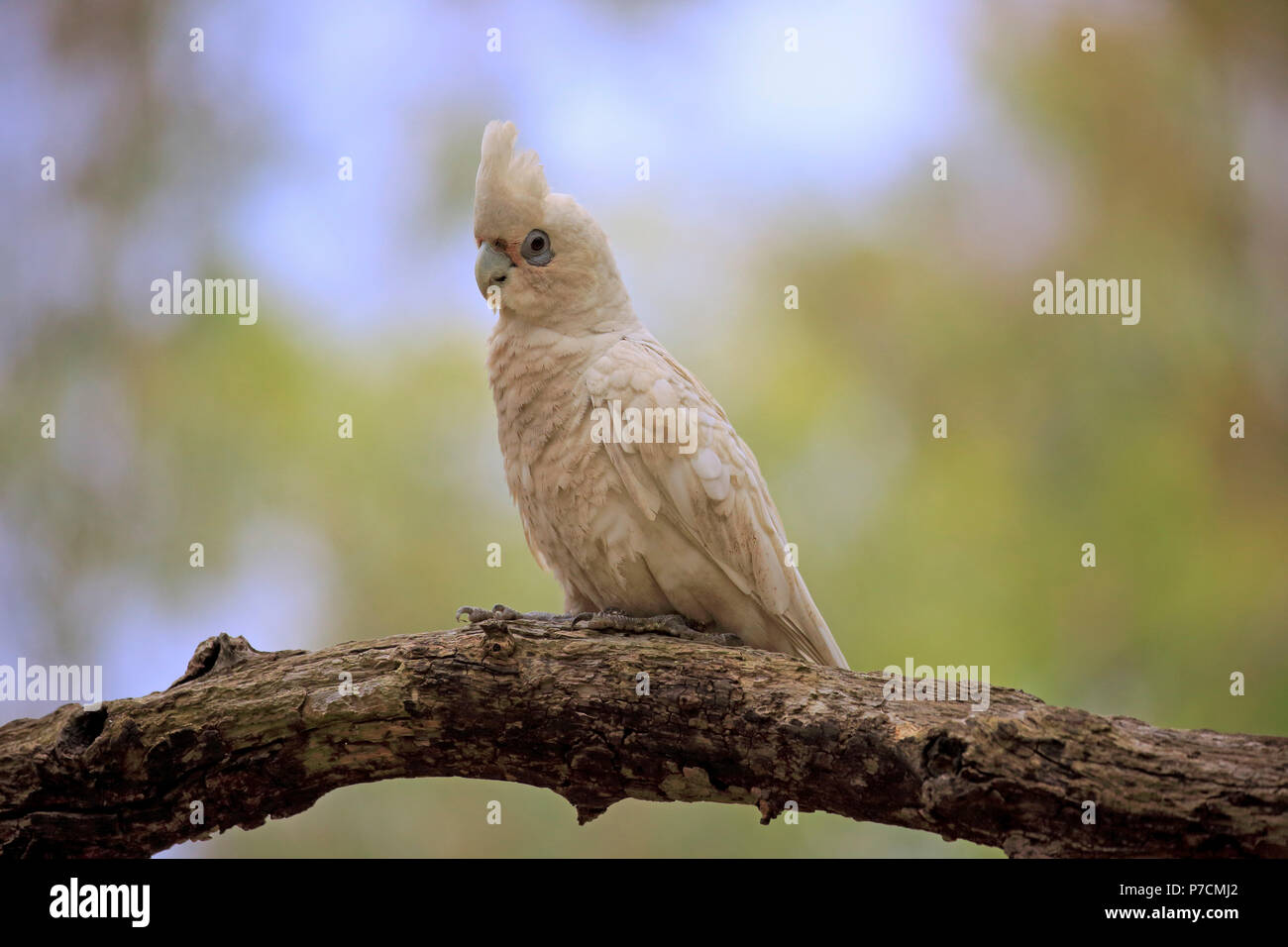 Little Corella, bare-eyed cockatoo, blood-stained cockatoo, short-billed corella, little cockatoo, blue-eyed cockatoo, adult on tree, Sturt Nationalpark, New South Wales, Australia, (Cacatua sanguinea) - Stock Image