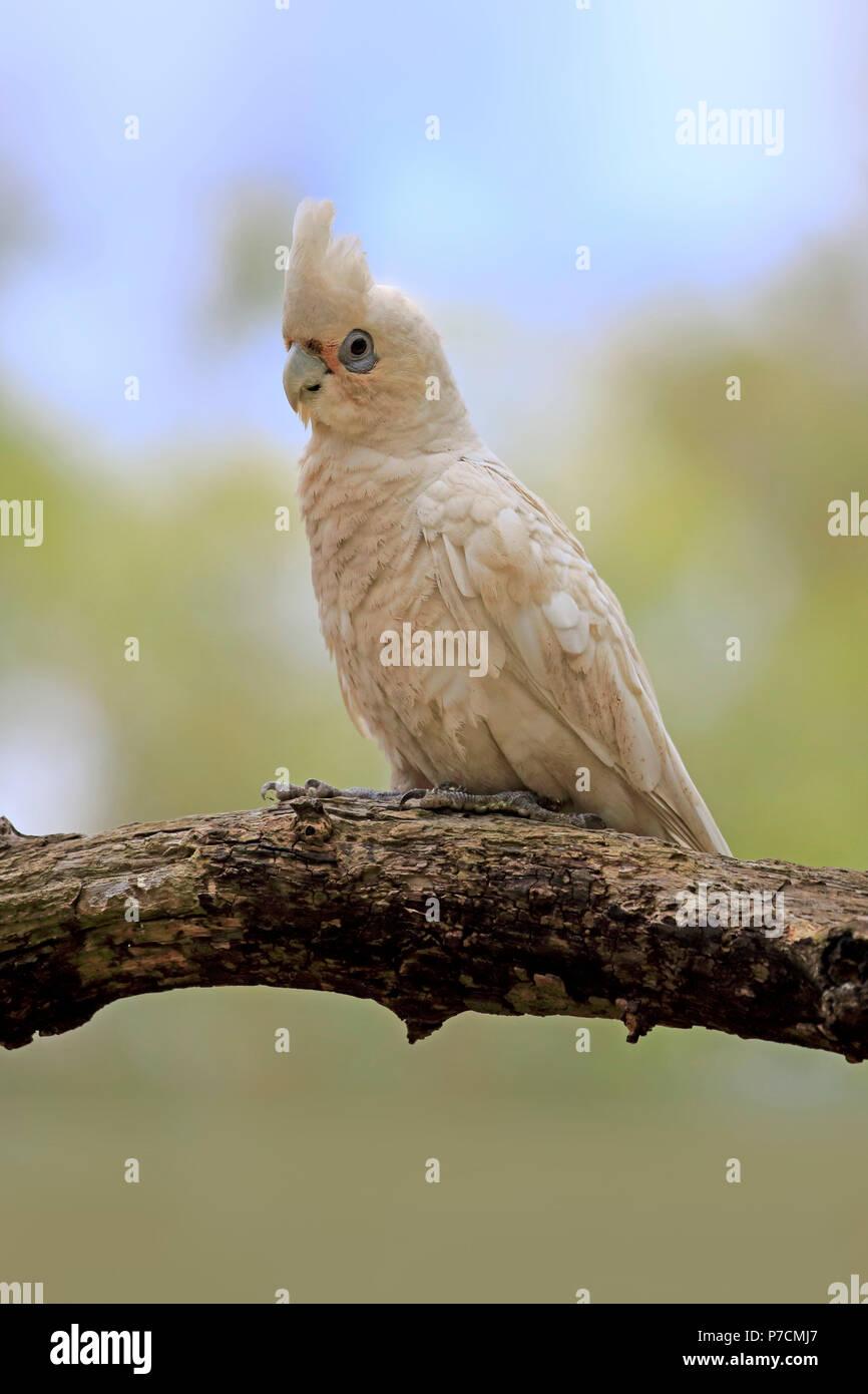 Little Corella, bare-eyed cockatoo, blood-stained cockatoo, short-billed corella, little cockatoo, blue-eyed cockatoo, adult on tree, Sturt Nationalpark, New South Wales, Australia, (Cacatua sanguinea) Stock Photo
