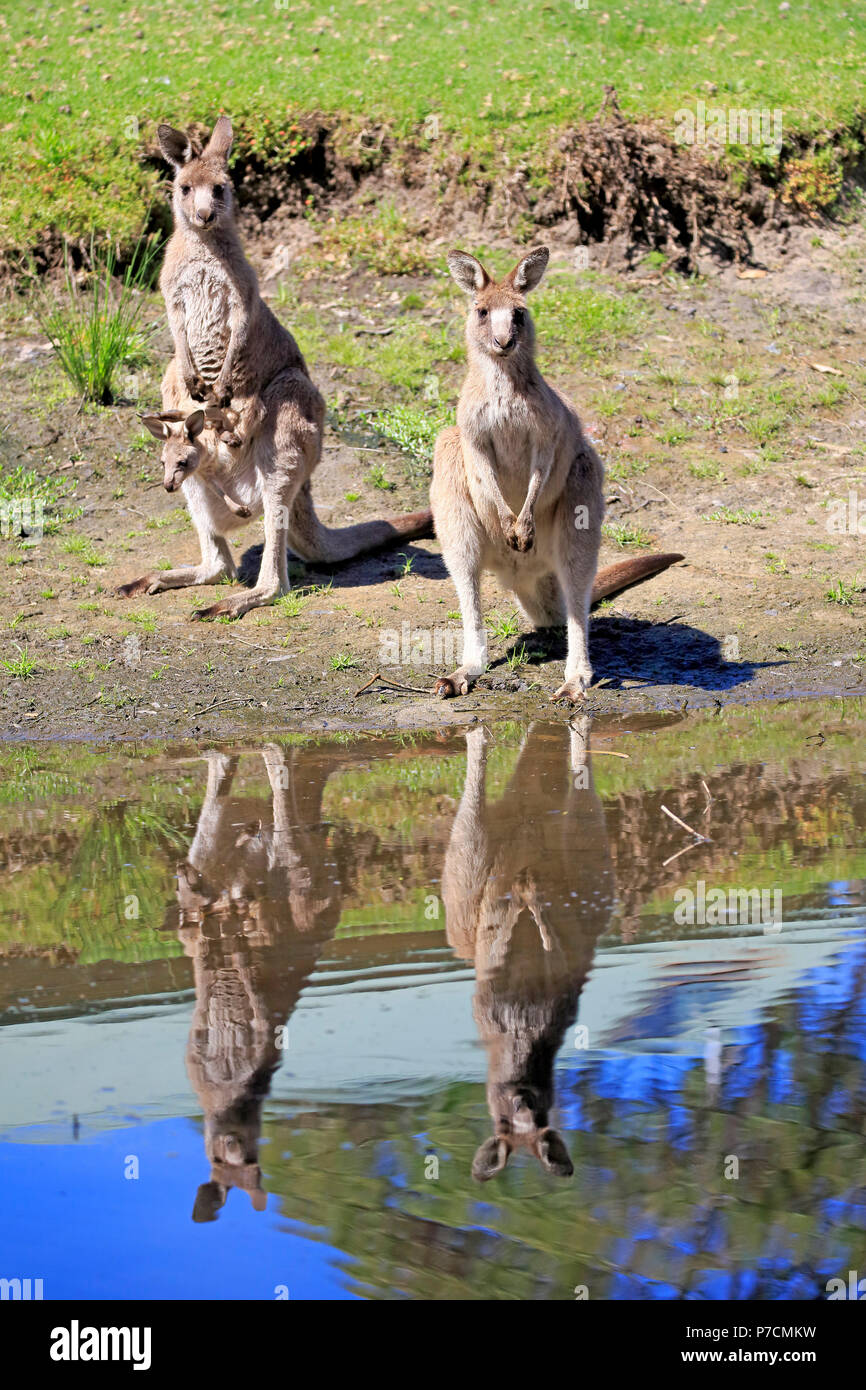 Eastern Grey Kangaroo, adult female with young looking out of pouch, adult with joey in pouch, group at water, Merry Beach, Murramarang Nationalpark, New South Wales, Australia, (Macropus giganteus) Stock Photo
