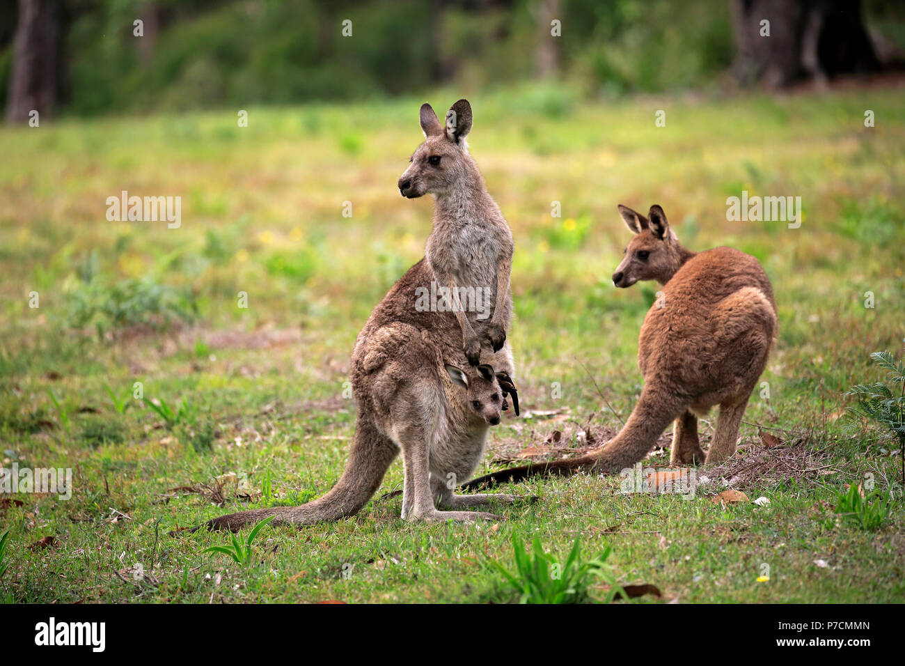 Eastern Grey Kangaroo, adult with joey in pouch, Merry Beach, Murramarang Nationalpark, New South Wales, Australia, (Macropus giganteus) - Stock Image