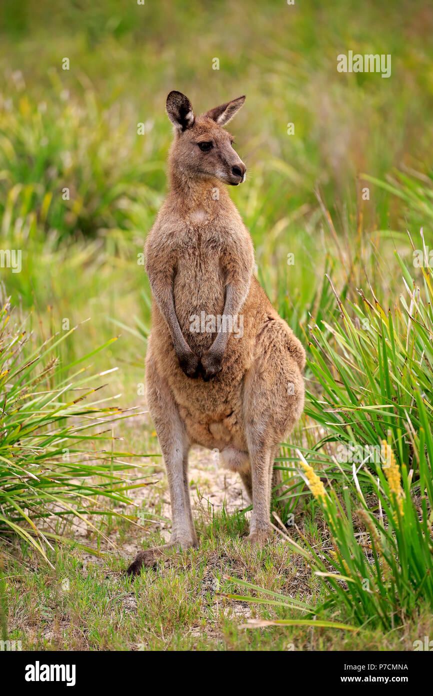 Eastern Grey Kangaroo, adult alert, Merry Beach, Murramarang Nationalpark, New South Wales, Australia, (Macropus giganteus) - Stock Image