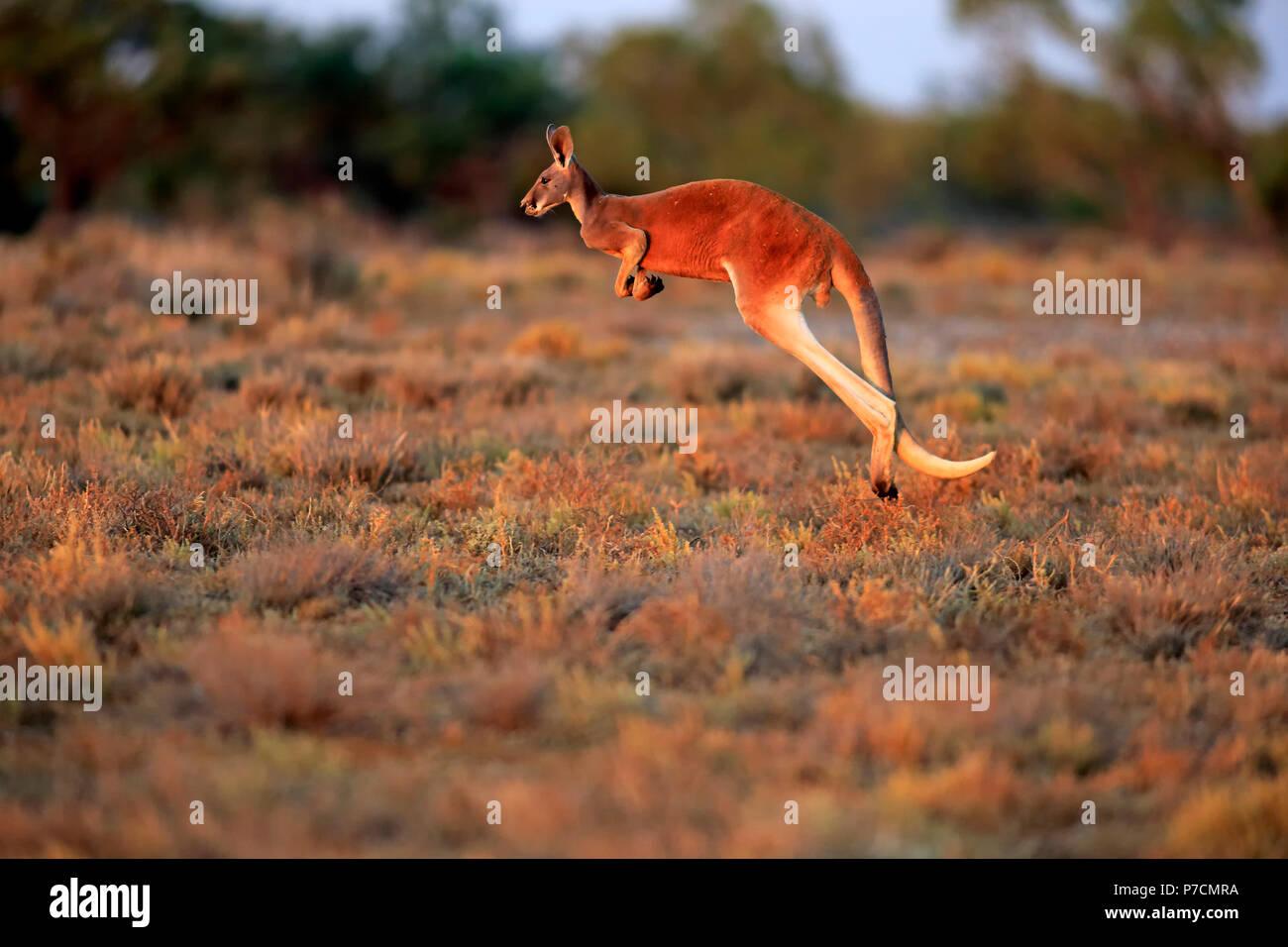 Red Kangaroo, adult male jumping, Sturt Nationalpark, New South Wales, Australia, (Macropus rufus) Stock Photo