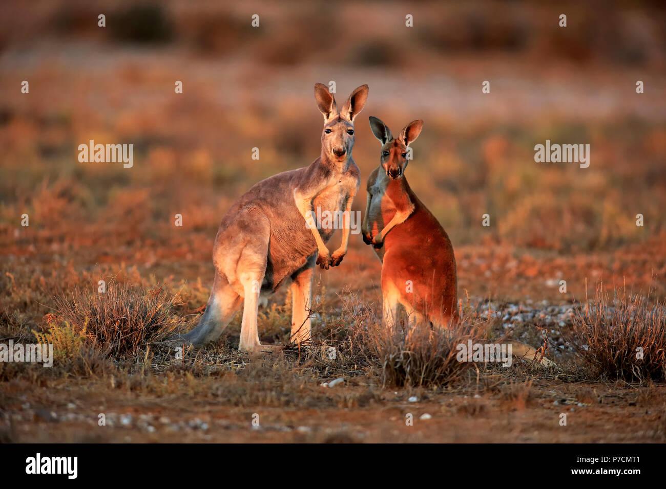 Red Kangaroo, female with subadult, Sturt Nationalpark, New South Wales, Australia, (Macropus rufus) - Stock Image