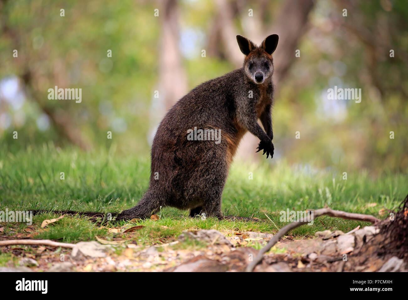 Swamp Wallaby, adult, Mount Lofty, South Australia, Australia, (Wallabia bicolor) - Stock Image