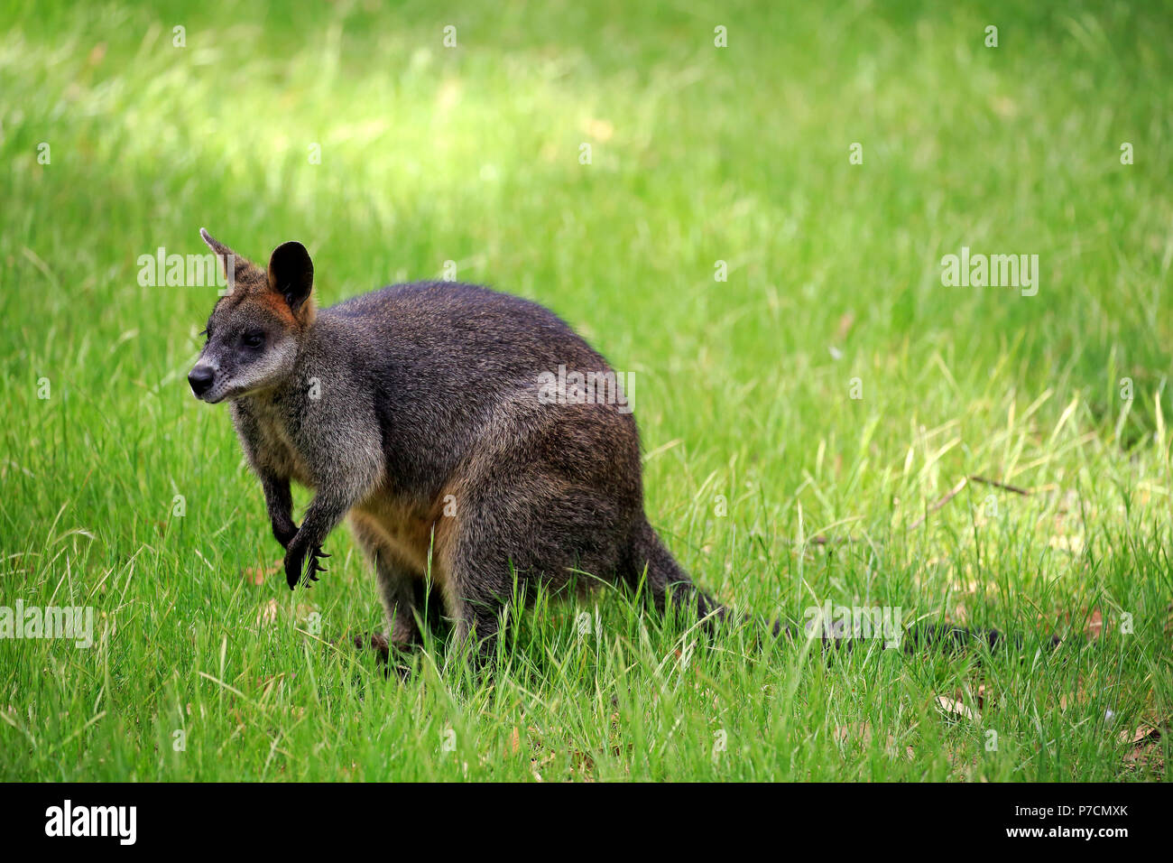 Swamp Wallaby, Mount Lofty, South Australia, Australia, (Wallabia bicolor) - Stock Image