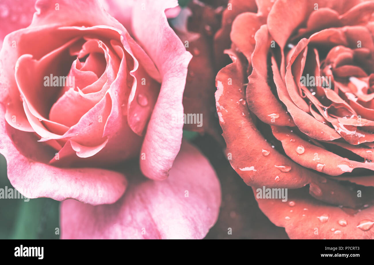 Rose in dark tones beautiful red flowers in the design of natural rose in dark tones beautiful red flowers in the design of natural dark tones dark flowers izmirmasajfo