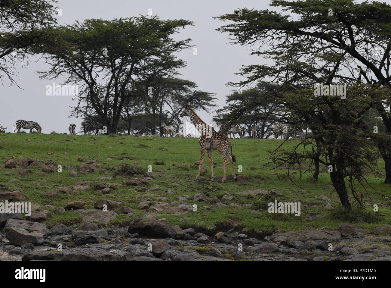 The Maasai giraffe (Giraffa camelopardalis tippelskirchii), also called Kilimanjaro giraffe. Picture taken in the valley at Mahali Mzuri, Maasai Mara. Stock Photo