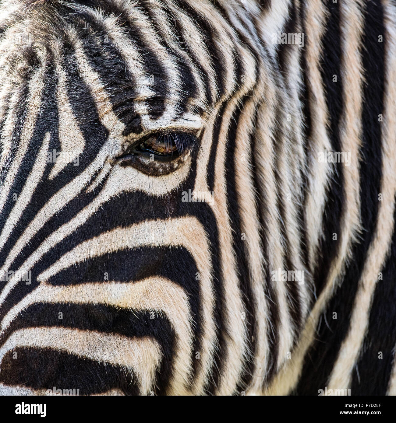 Close up from a zebra horse eye - Stock Image