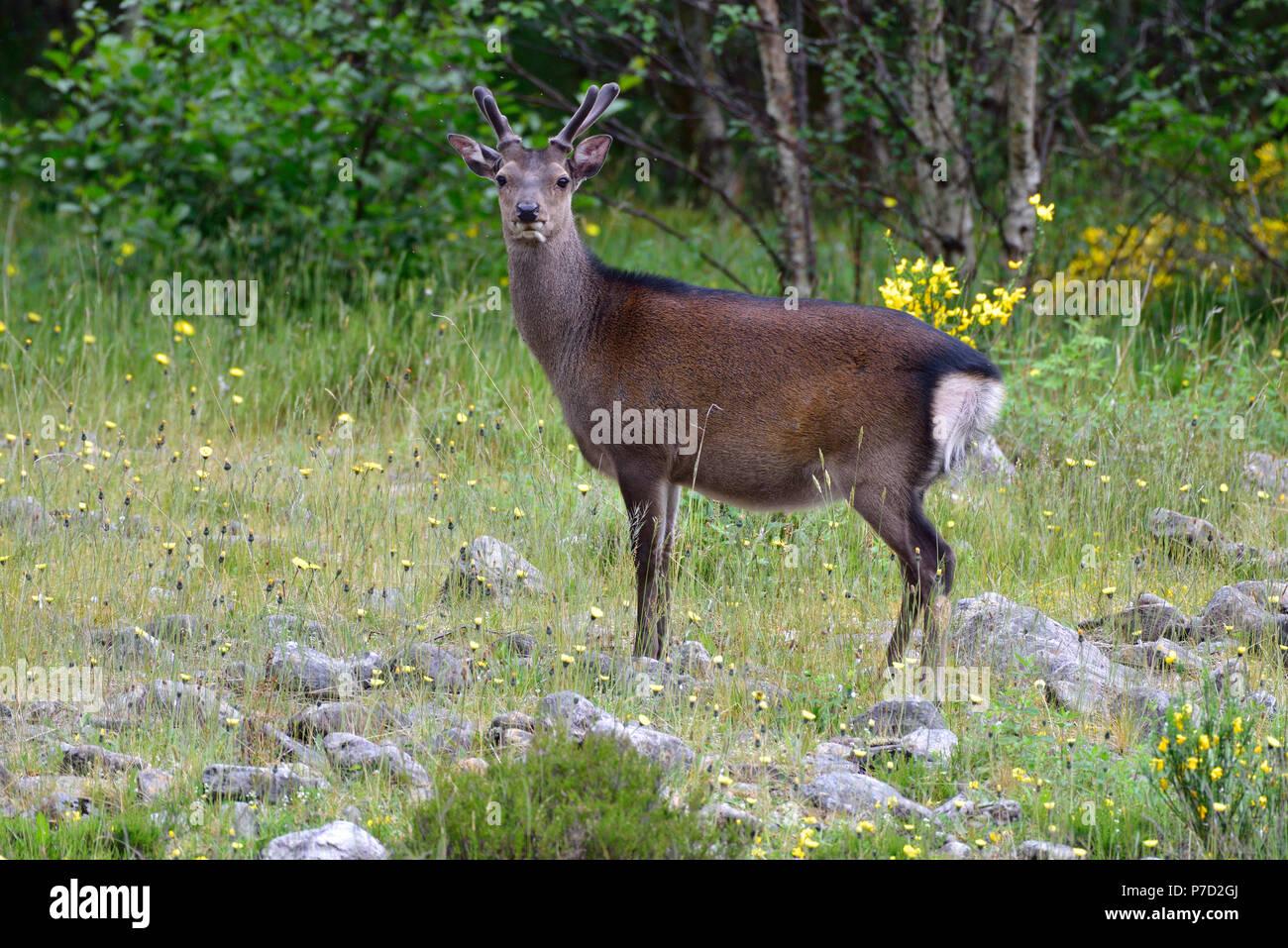 Young red deer (Cervus elaphus) in bast, Scottish Highlands, Great Britain - Stock Image