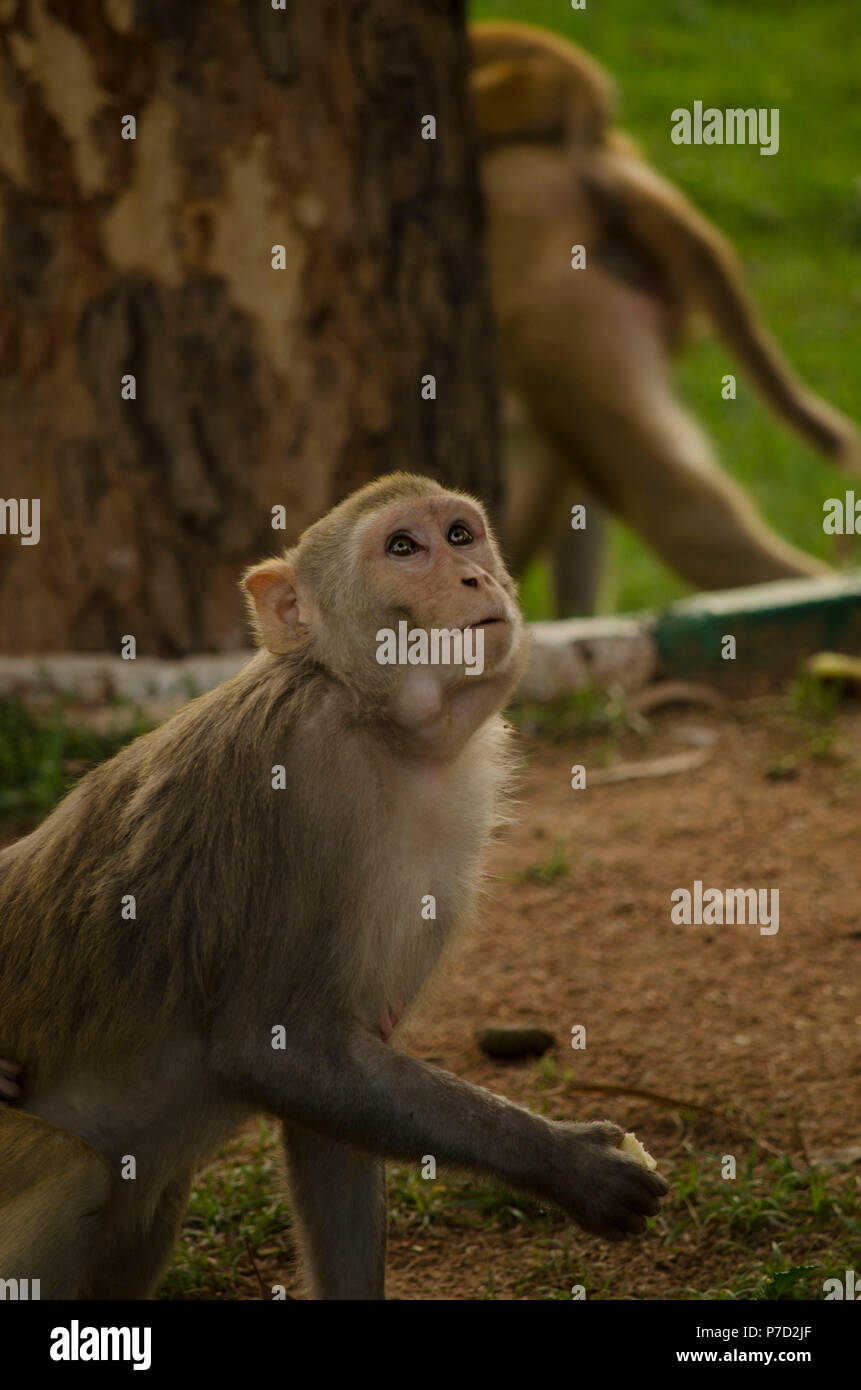 Rhesus macaque - Stock Image