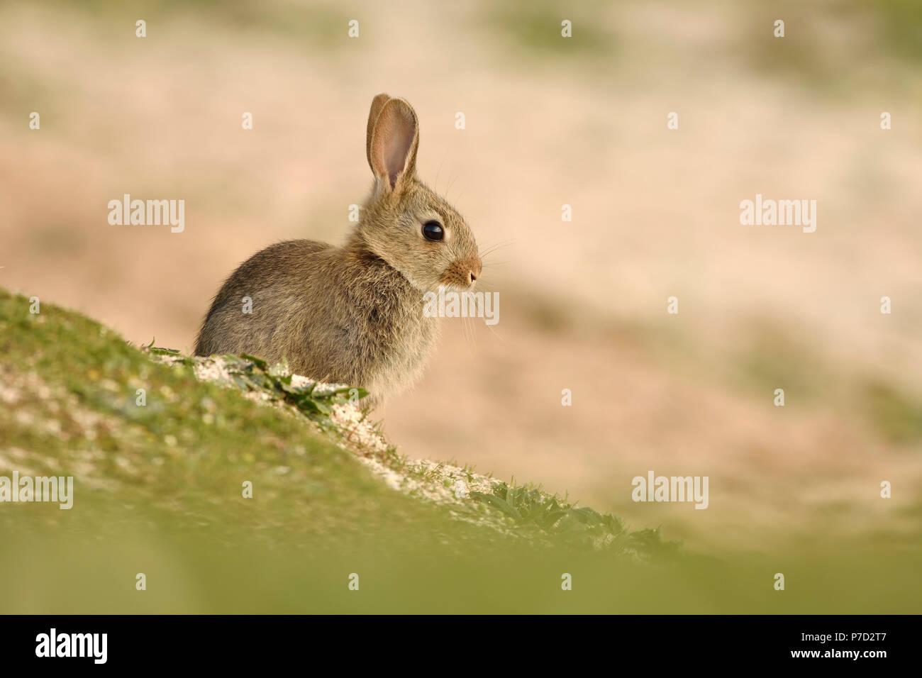 Wild Rabbit Stock Photos & Wild Rabbit Stock Images - Alamy