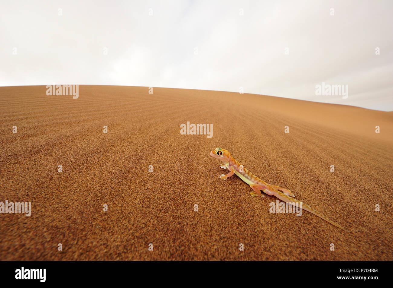 Palmato gecko, Namib desert near Swakopmund, Namibia - Stock Image