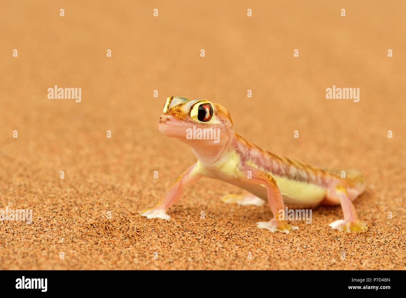 Palmato gecko, Namib desert near Swakopmund, Namibia Stock Photo