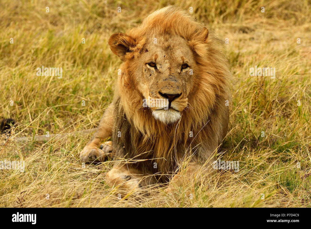 Lion (Panthera leo), male lying in the dry grass, Moremi National Park, Moremi Wildlife Reserve, Okavango Delta, Botswana - Stock Image