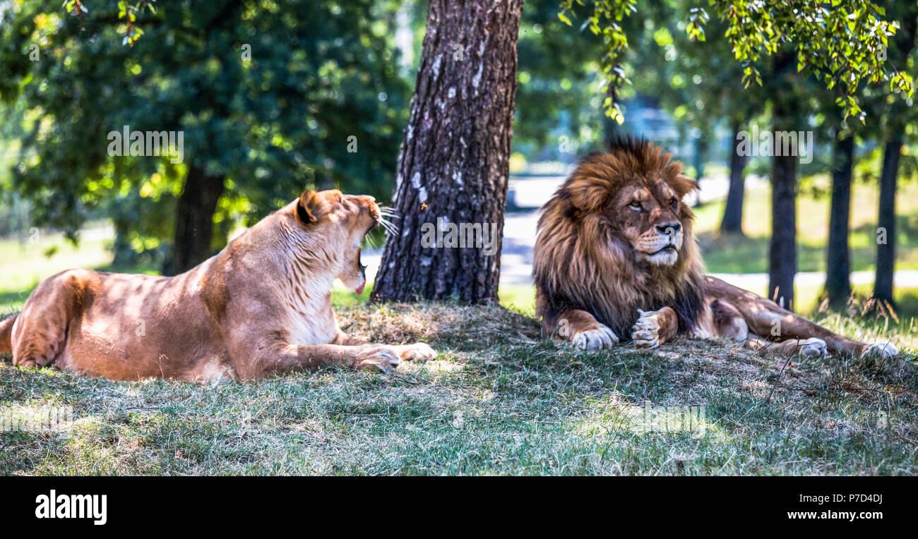 lion couple stock photos amp lion couple stock images alamy