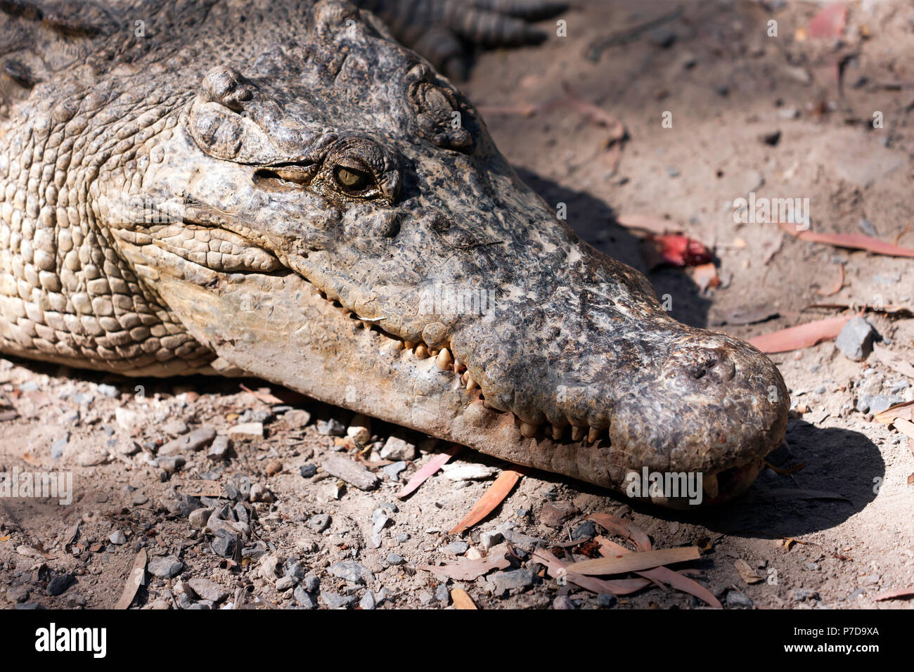 Close-up  of the head  large Estuarine  Crocodile at Hartley's Crocodile Adventures, Captain Cook Highway, Wangetti, Queensland, Australia - Stock Image