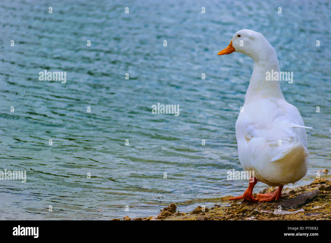 White Pekin Duck standing by the lake on a summer day in Florida. - Stock Image