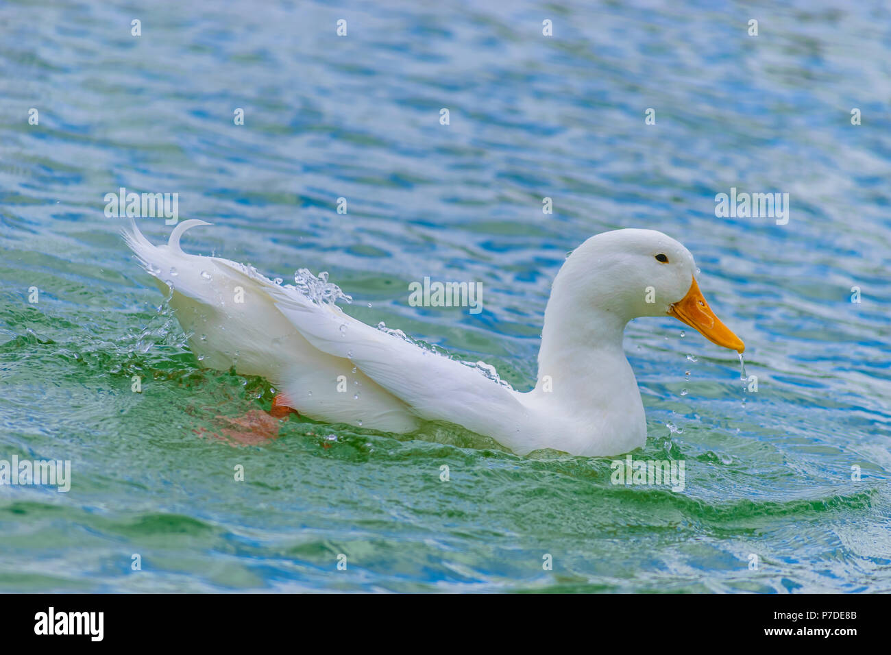White Pekin Duck swimming in a lake on a summer day in Florida. - Stock Image