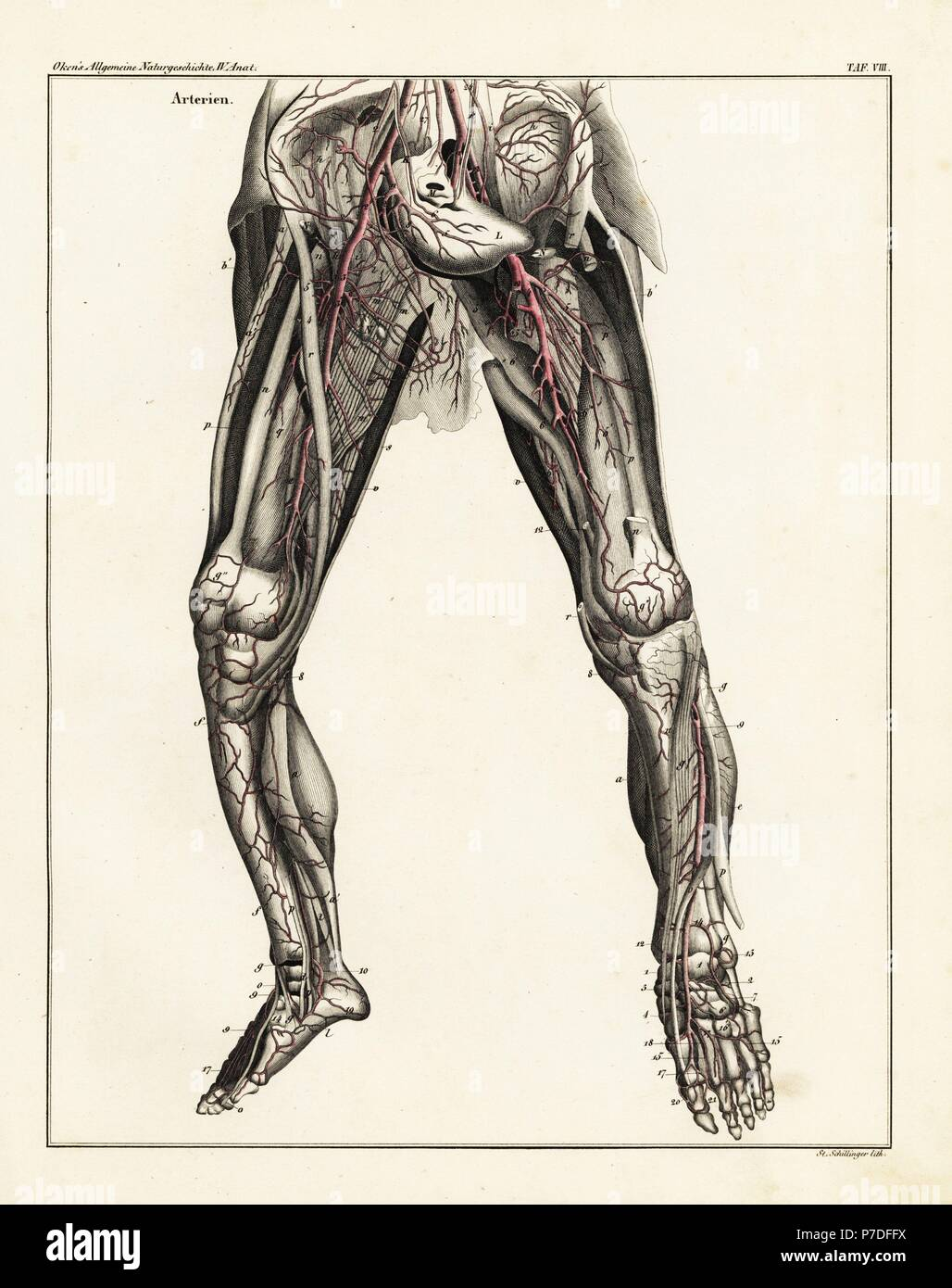 Anatomy Of The Human Arterial System In The Legs Handcoloured