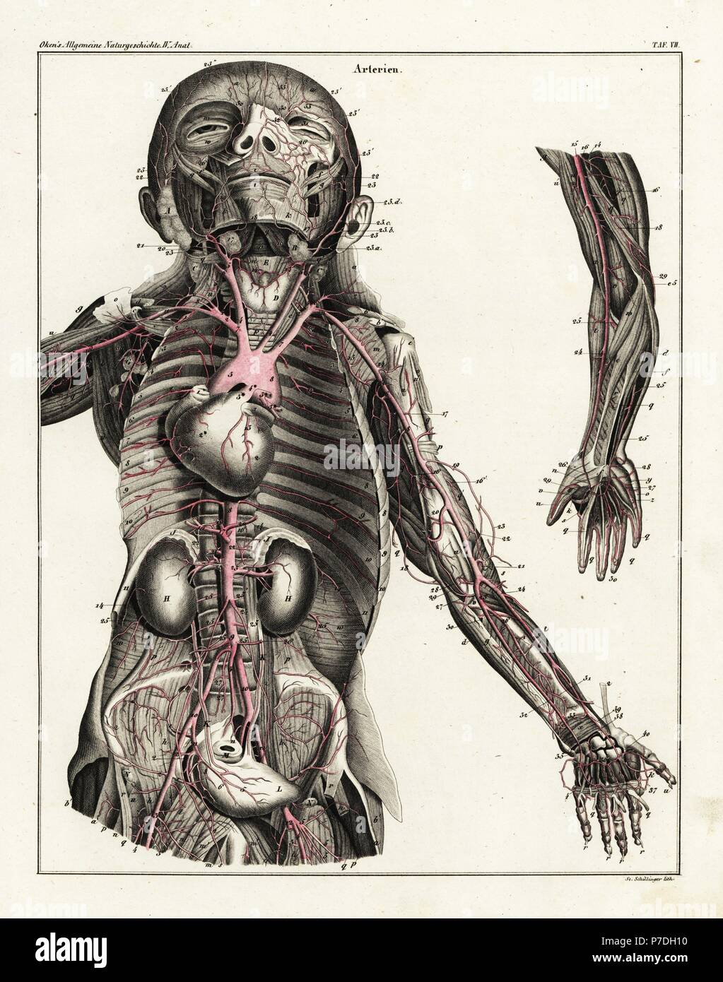 Anatomy Of The Human Arterial System In The Upper Torso