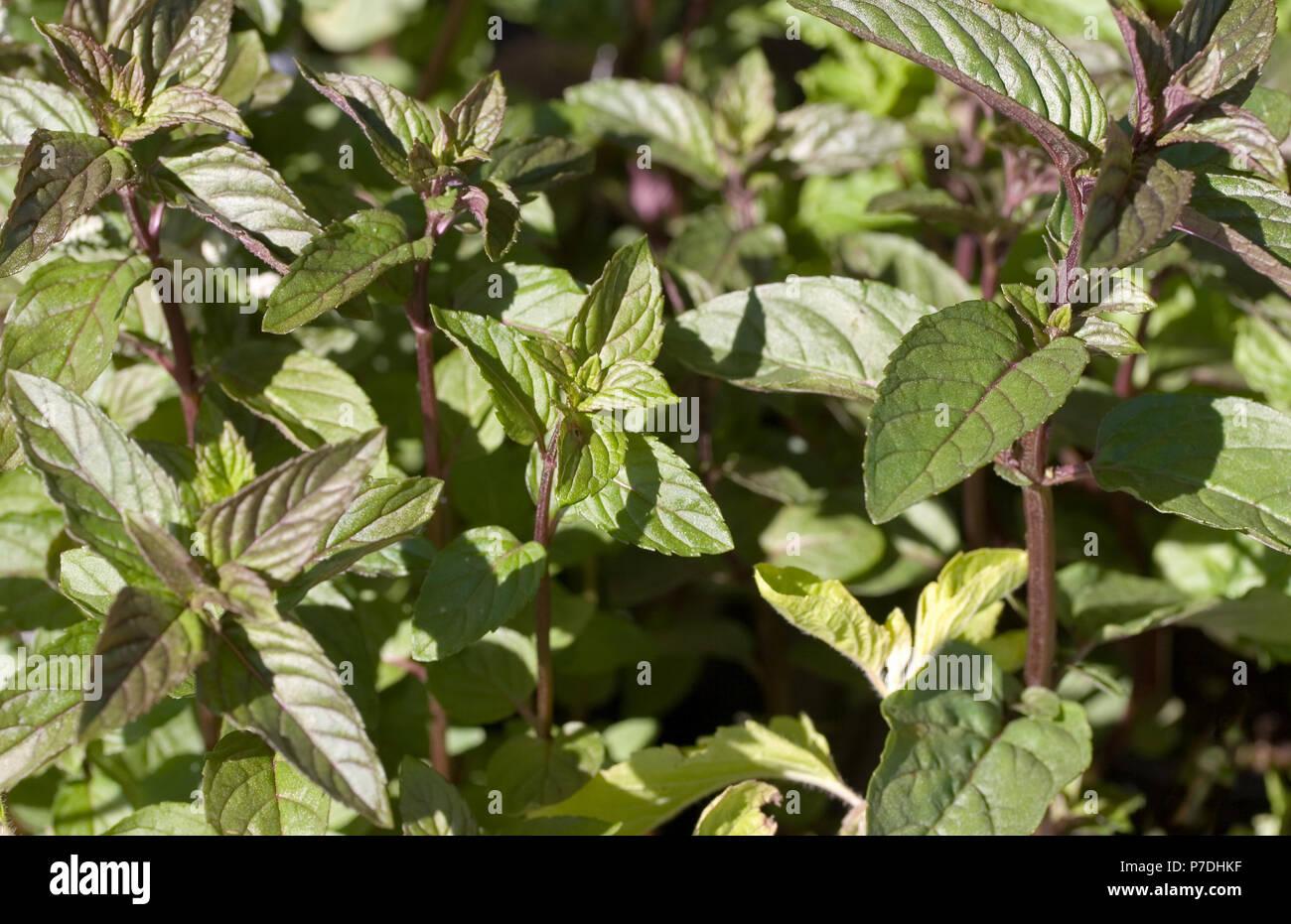 Black Peppermint 4 Plant