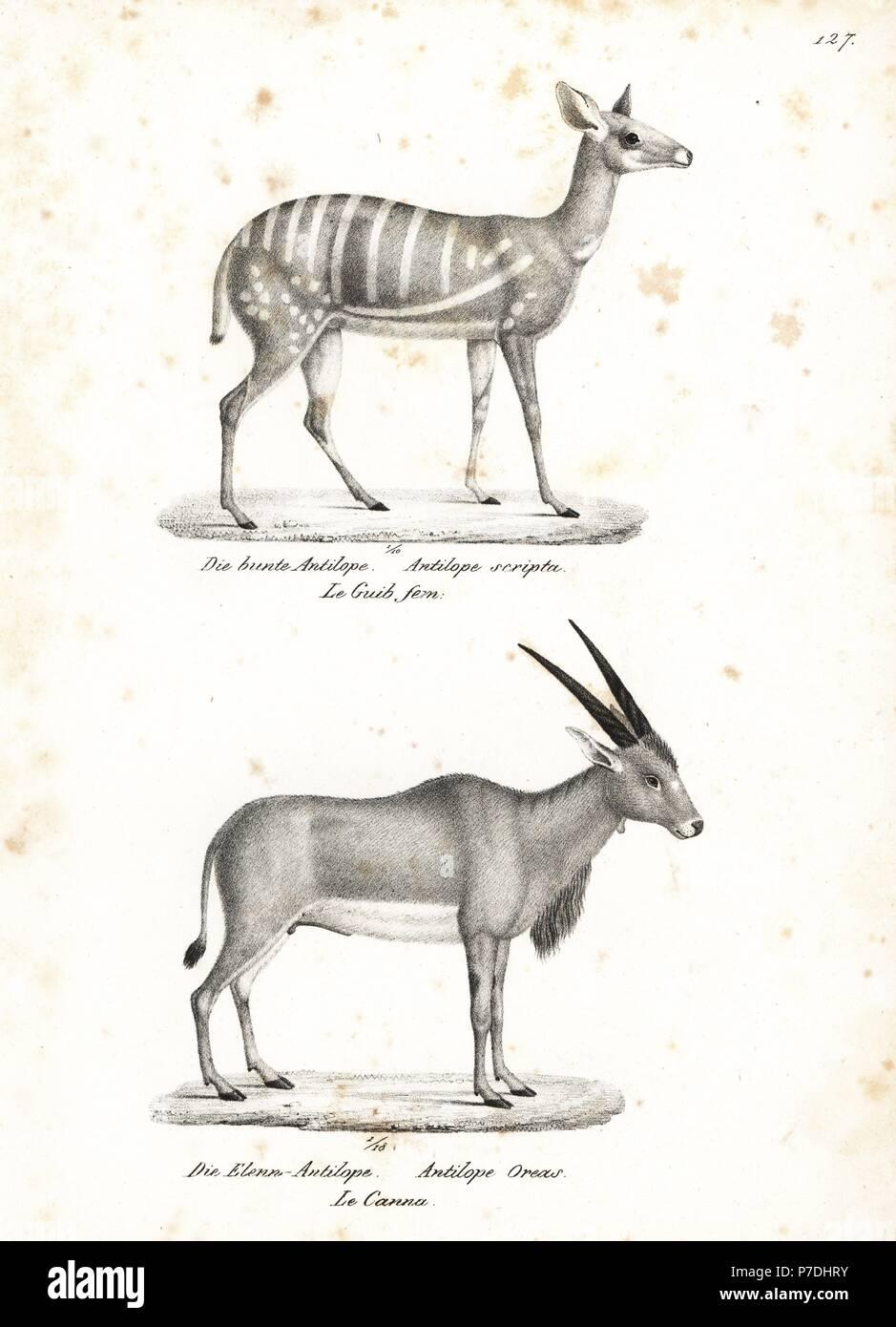 Bushbuck tragelaphus scriptus and common eland taurotragus oryx lithograph by karl joseph brodtmann from heinrich rudolf schinzs illustrated natural